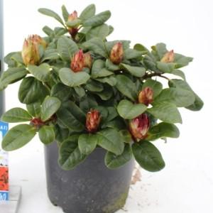 Rhododendron 'Scarlet Wonder' (About Plants Zundert BV)
