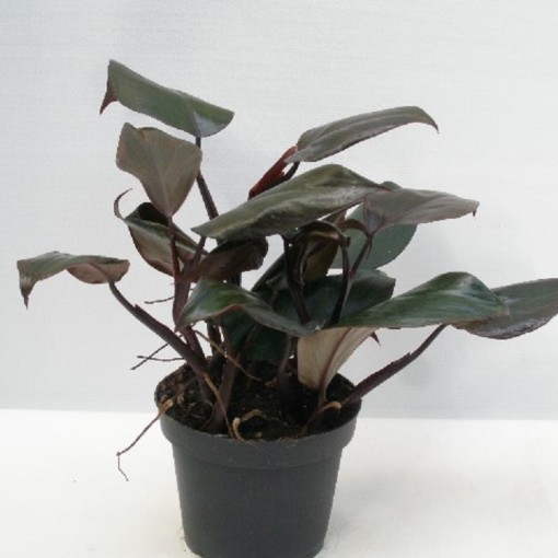 Philodendron erubescens 'New Red' (Gasa DK)