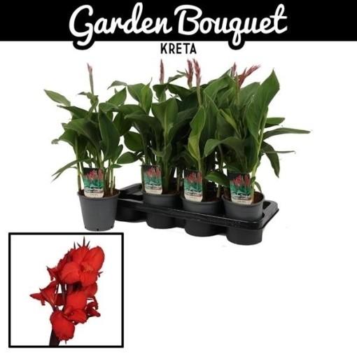 Canna 'Kreta' (Vreugdenhil Bulbs & Plants)