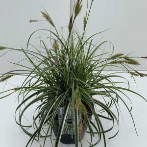 Carex 'Feather Falls'