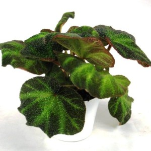 Begonia DECORA IRON