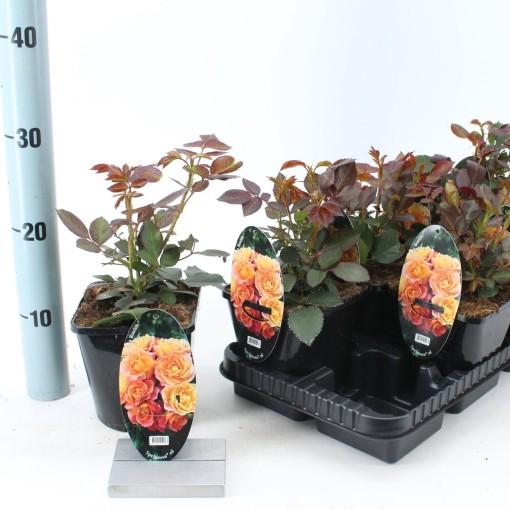 Rosa BONFIRE (About Plants Zundert BV)
