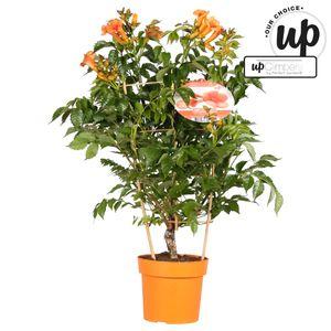Campsis x tagliabuana INDIAN SUMMER (Hoogeveen Plants)