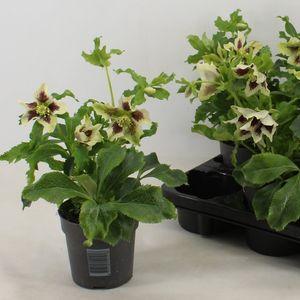 Helleborus orientalis 'White Spotted'