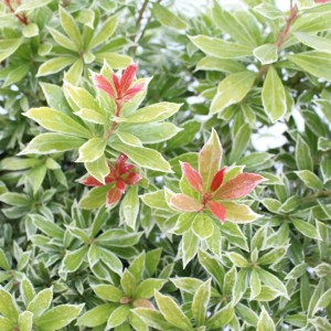 Pieris japonica 'Little Goldy' (About Plants Zundert BV)