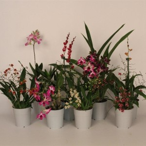 Orchids MIX