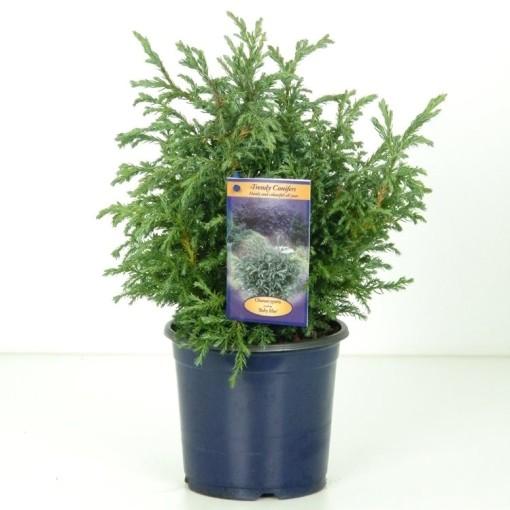 Chamaecyparis pisifera 'Baby Blue' (Vredebest, Kwekerij )