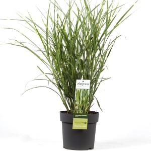 Miscanthus sinensis 'Strictus' (Hoogeveen Plants)