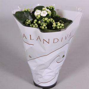 Kalanchoe blossfeldiana CALANDIVA MIX (Kwekerij 's-Gravenhof)