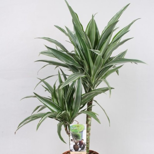 Dracaena fragrans 'Warneckei' (Vireõ Plant Sales)
