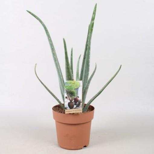 Aloe vera (Vireõ Plant Sales)