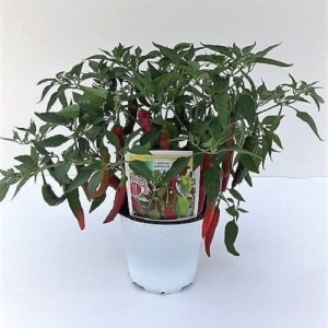 Capsicum annuum 'Apollo' (Green Collect Sales)