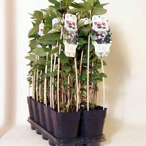 Aronia x prunifolia 'Viking' (BOGREEN Outdoor Plants)