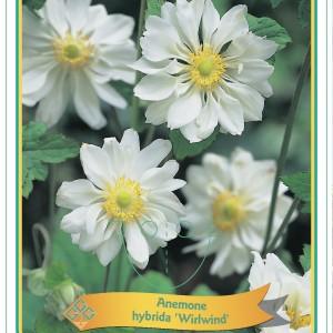 Anemone MIX (Gebr. Griffioen)