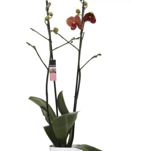 Phalaenopsis SURFSONG (Ter Laak Orchids Midiflora)