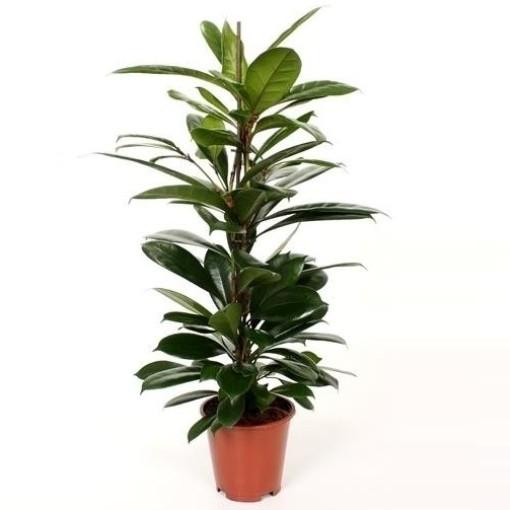 Ficus cyathistipula (Wilgenlei b.v.)