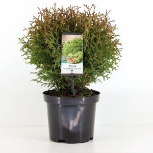 Thuja occidentalis 'Tiny Tim' (Bremmer Boomkwekerijen)