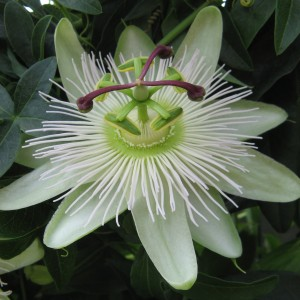 Passiflora 'Snow Queen' (Plantcare BVBA)