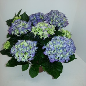 Hydrangea macrophylla EARLY BLUE