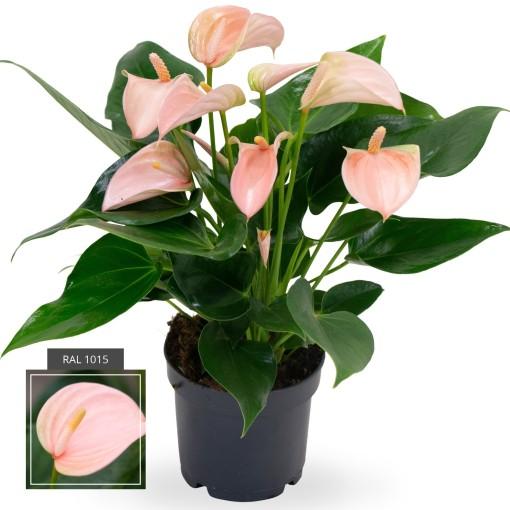 Anthurium JOLI PEACH (Karma Plants)