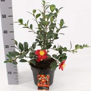 Camellia x vernalis 'Yuletide'