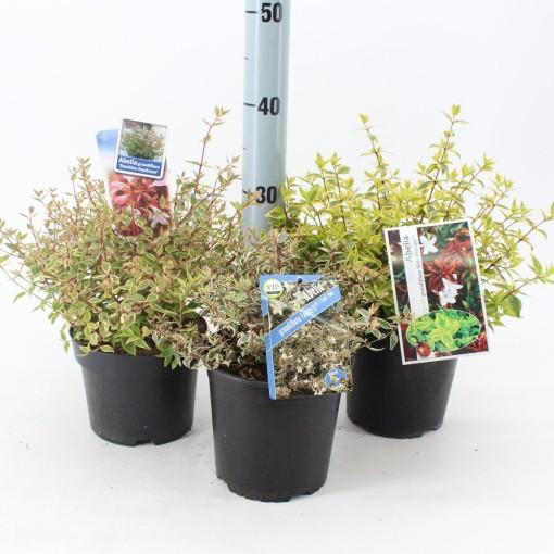 Abelia MIX (About Plants Zundert BV)