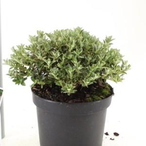 Rhododendron calostrotum keleticum (About Plants Zundert BV)