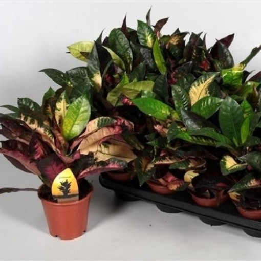 Codiaeum variegatum 'Mrs Iceton' (JoGrow B.V.)