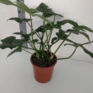 Philodendron 'Nadja' (RuBa Baers)