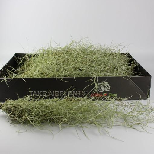 Tillandsia usneoides (Corsa plant)