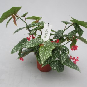 Begonia 'Snow Capped'