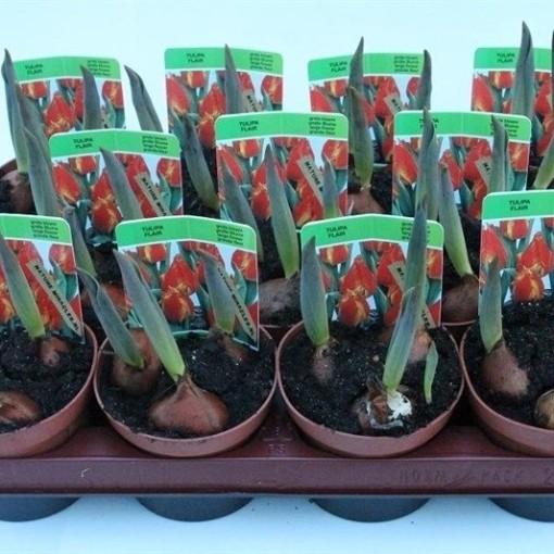 Tulipa 'Flair' (Gebr. Straathof)