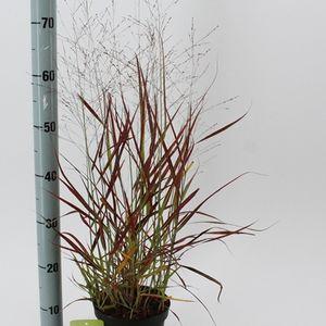 Panicum virgatum 'Shenandoah' (About Plants Zundert BV)