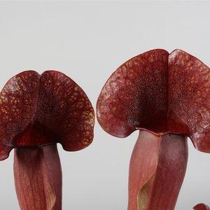 Sarracenia × catesbaei (Stricker Plants)