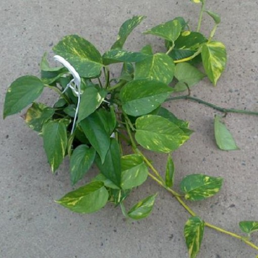 Epipremnum pinnatum 'Aureum' (Gasa DK)
