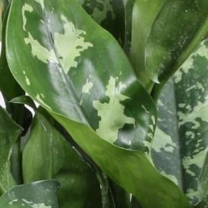 Aglaonema 'Maria' (Vireõ Plant Sales)
