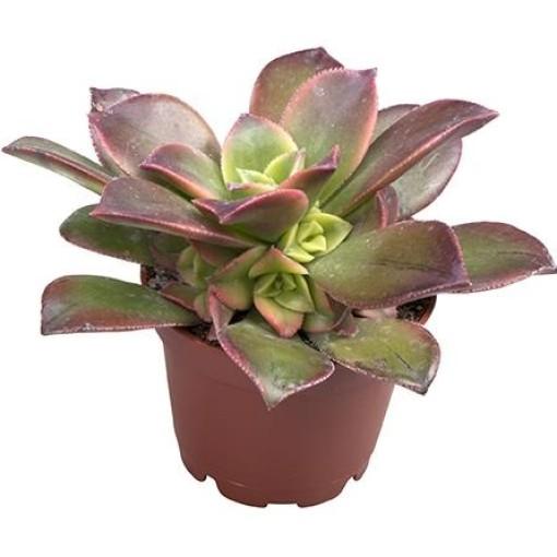 Aeonium 'Kiwi' (Gasa DK)
