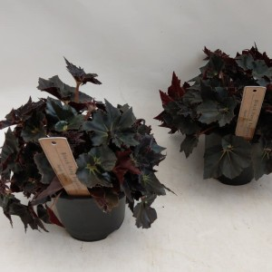 Begonia 'Black Fang'