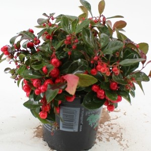 Gaultheria procumbens 'Red Diamond'