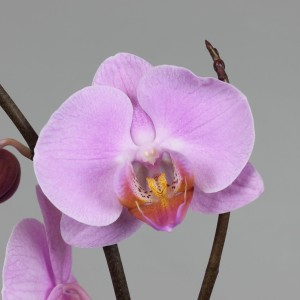 Phalaenopsis 'Babylon' (Leerdam Orchideeën)