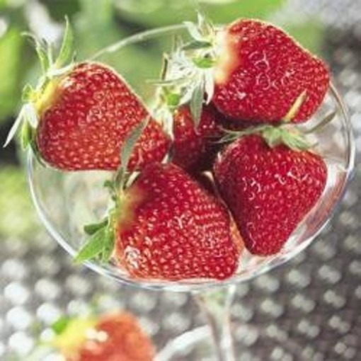 Fragaria x ananassa 'Darselect' (Experts in Green)