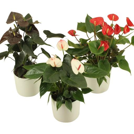 Anthurium FLAMINGO MIX (Flamingo Plant)
