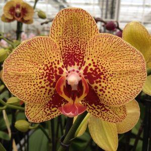 Phalaenopsis ELEGANT CHARMER (Leerdam Orchideeën)