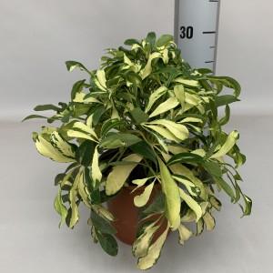Schefflera arboricola 'Gold Capella' (Handelskwekerij van der Velden)