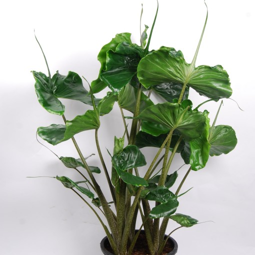 Alocasia 'Stingray' (Van der Arend Tropical Plantcenter)