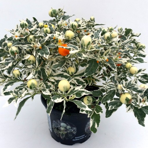 Solanum pseudocapsicum 'Ivema' (Experts in Green)