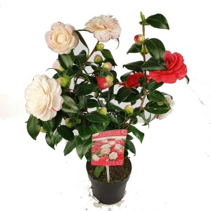 Camellia japonica MIX IN POT