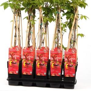Parthenocissus quinquefolia (Hoogeveen Plants)