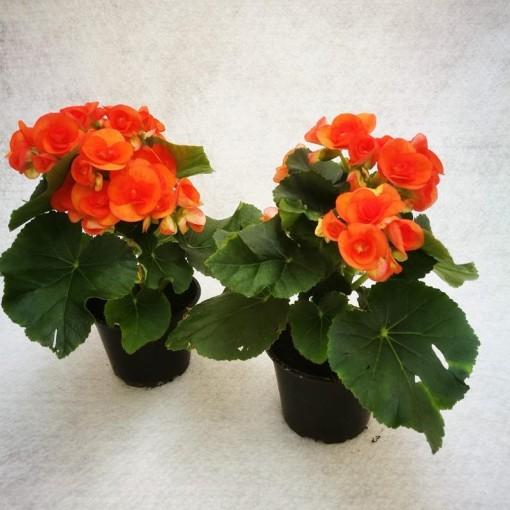 Begonia BATIK (Gasa DK)