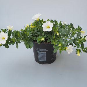 Calibrachoa MINIFAMOUS WHITE (Sonneveld Plants)